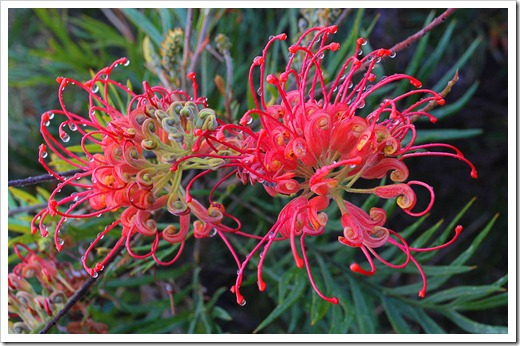 120211_UCSC_Arboretum_Grevillea-Robyn-Gordon_07