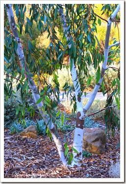 131124_UCD_Arboretum_AustralianCollection_Eucalyptus-pauciflora_03