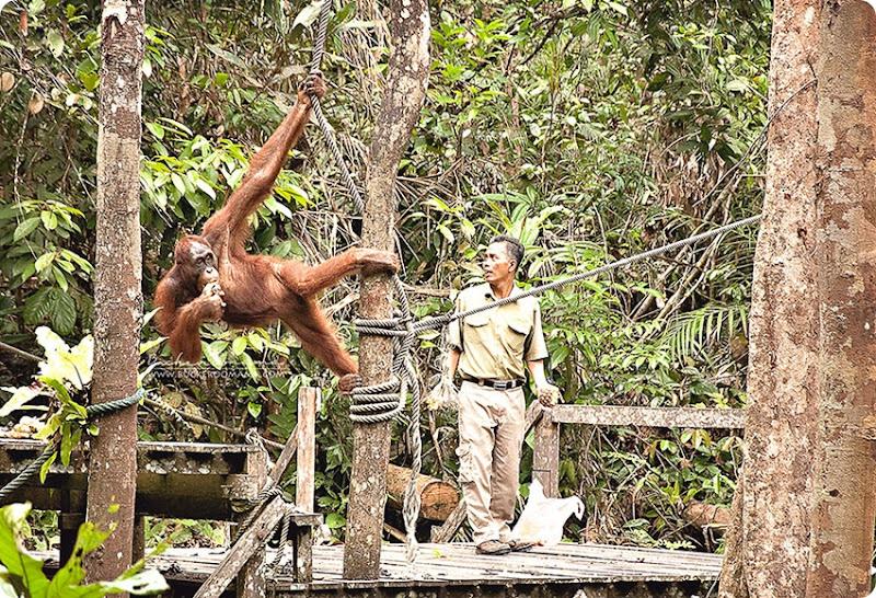 Orangutan-(1)