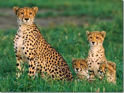 foto de guepardos