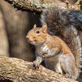 In a Tree by Carol Plummer - Animals Other Mammals ( tree, squirrel, animal )