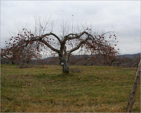 Demented apple tree