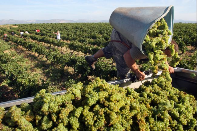 A vintager harvests Muscat grapes in the southern French town of Rivesaltes. The changing climate may force the French to change their strict system for producing wines. Raymond Roig / AFP / Getty Images