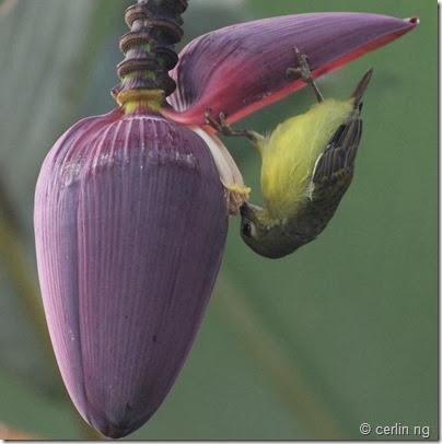 sunbird on musa flower (2)
