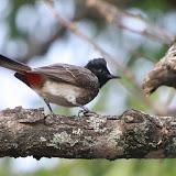 Red butt bird