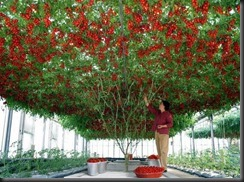 giant-tomatoes-tree