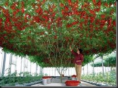 giant-tomatoes-tree