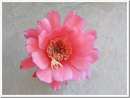 130520_Echinopsis-huascha-rubriflora_02