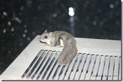 Flying Squirrel on Air Conditioner