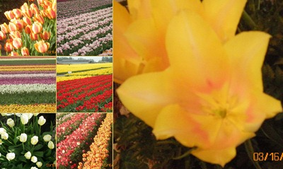 View Tulips