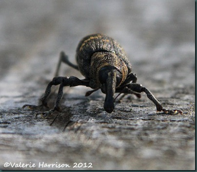 pine-weevil-Hylobius-abietis-face
