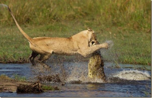 Le courage exeptionnel d'une lionne (5)