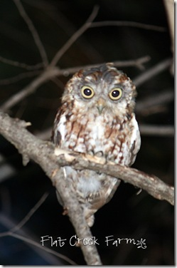 owl_4