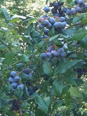 blueberries at Pauls 8.2013