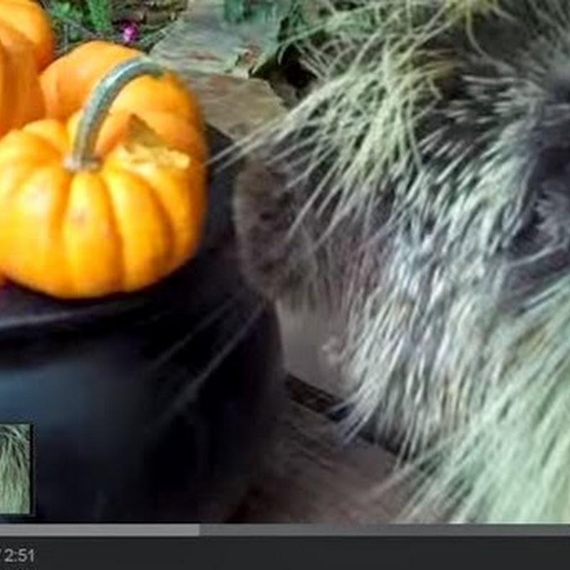 Σκαντζόχοιρος τρώει κολοκύθες