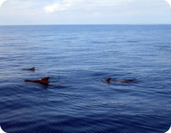 Pilot Whale Family