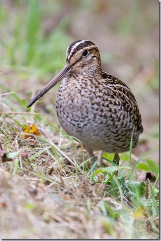 GreatSnipe_Kilnsea-4