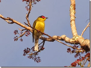 THIS Fig Bird