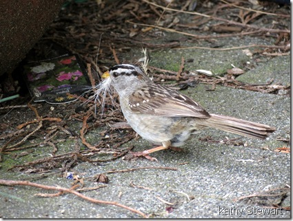 White Crowned sparrow with nesting material