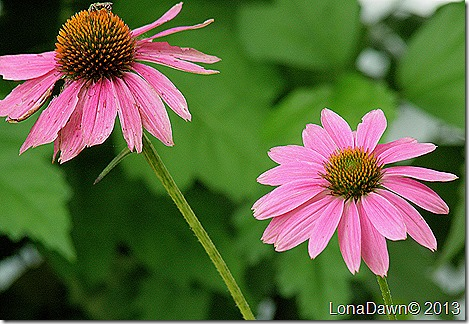 Echinacea_PowWow_Wildberry3