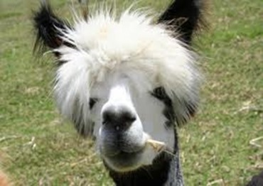 Amazing Pictures of Animals, photo, Nature exotic, funny, incredibel, Zoo, Vicugna pacos, Alpaca, Alex (8)