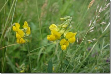 和名:キバナノレンリソウ(黄花の連理草) 学名:Lathyrus pratensis L. 蘭名:Veldlathyrus 英名:Meadow vetchling