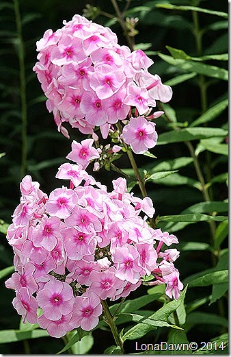 Phlox paniculata Bright Eyes 7_31