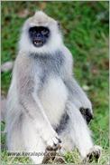 _P6A1670_grey_langur_monkey_mudumalai_bandipur_sanctuary