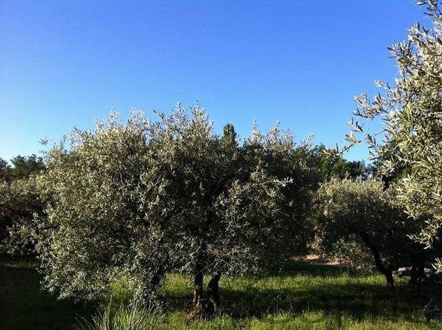 26.5olijfboomgaard