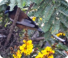 Nest Indian Treepie (43)