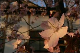 2011-05-15 Furano Sakura 11