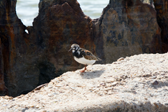 Kleb Woods Beach Trip Ruddy Turnstone