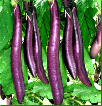 Berinjela Long Purple