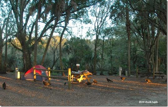 Myakka tent vultures 001