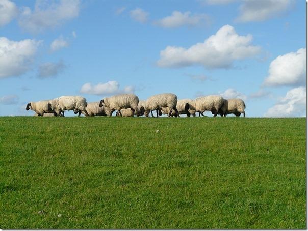 Ovelhas Pastando (6)