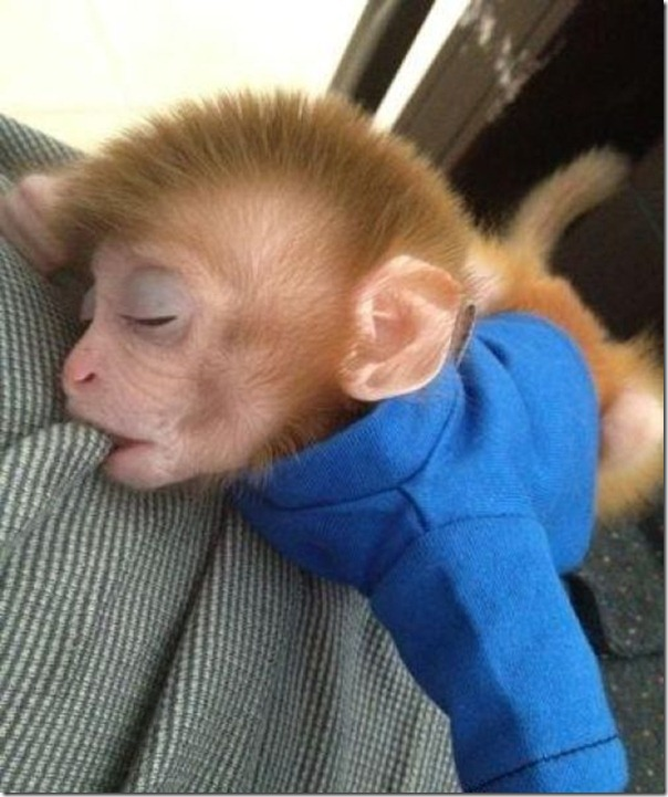Macaco bebe adora tomar refrigerante (5)