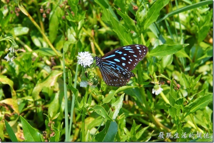 頭社活盆地這裡也是紫斑蝶的棲地。