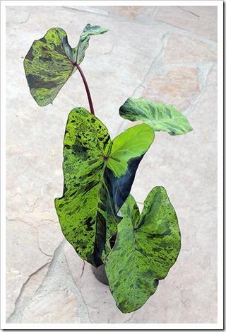 110702_Colocasia-esculenta-Mojito_12