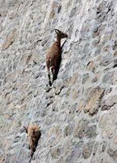 Amazing Pictures of Animals, Photo, Nature, Incredibel, Funny, Zoo, Alpine ibex, Capra ibex, Mammalia, Alex (6)