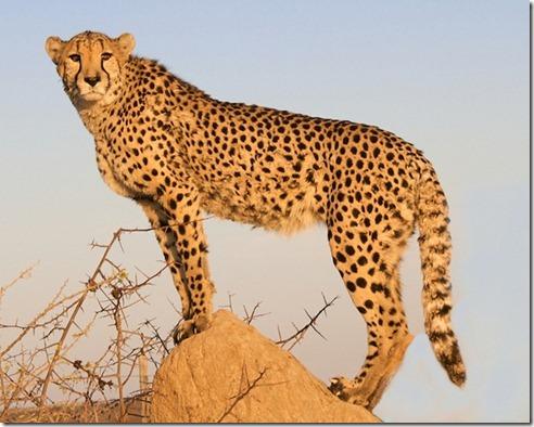Wildlifephotographyleopard7_thumb1