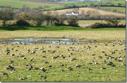 brent geese on marshes
