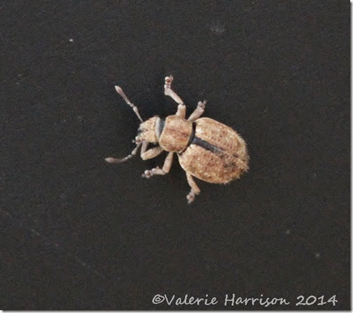 7-Nut-Leaf-Weevil-(Strophosoma-melanogrammum)