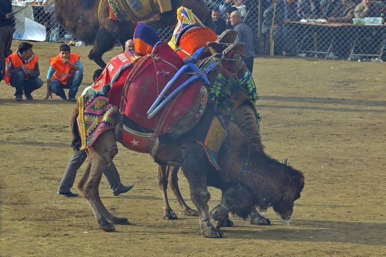 camel-wrestling-2
