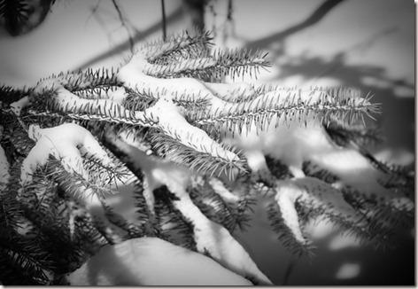 BW-Pine-Branch