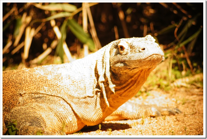 public-domain-komodo-dragon-picture (2)