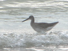 Florida 2013 Naples willet shorebird in surf