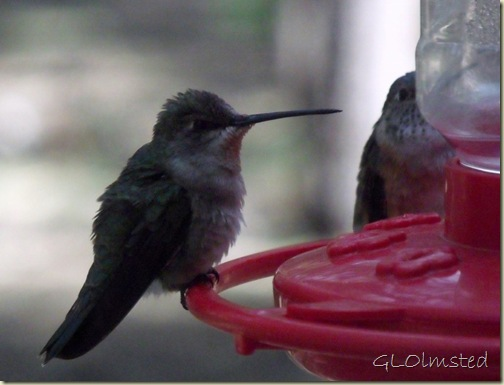 01 Immature &amp; female Broad-tailed Hummingbird at feeder NR GRCA NP AZ (1024x779)