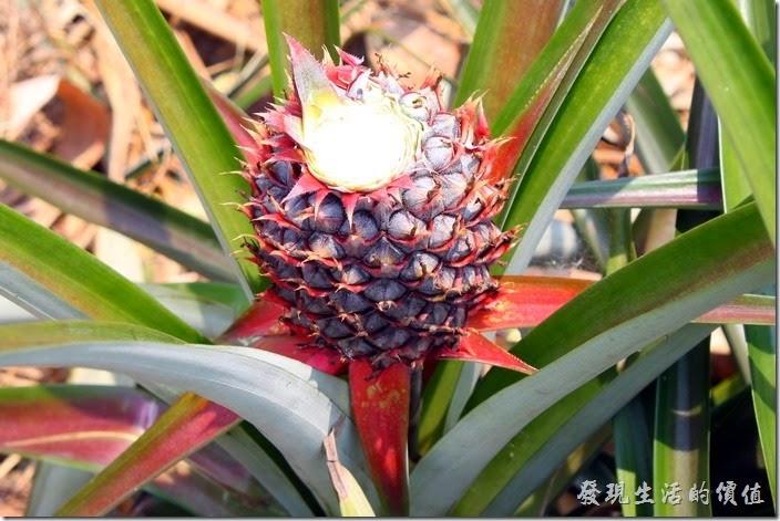 南投-其實微熱山丘旁邊就有很多的鳳梨田,難怪這裡可以產出源源不絕的鳳梨酥。