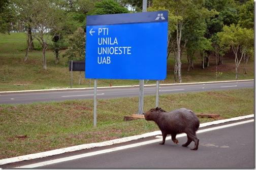 Capivara cruzando a Pista em Itaipu BlogTurFoz Luiz