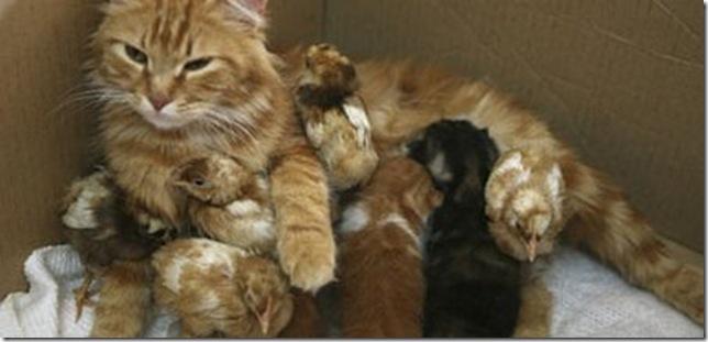 9 Hewan Berbeda Jenis yang Menjadi Sahabat Sejati_kucing-dan-anak-ayam